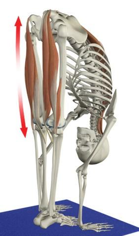 muscle_spindle_3_hams_spinae_utt.jpg